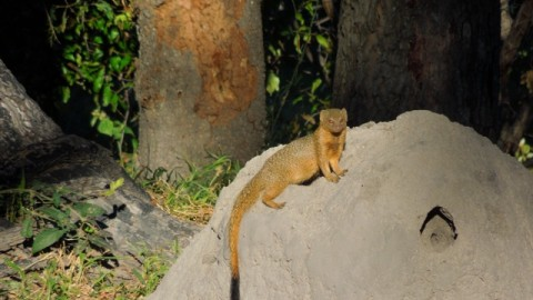 Golden Slender Mongoose…