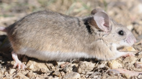 Zion Rodents – ID required