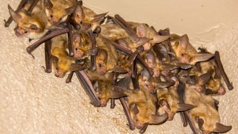 Arizona Bats
