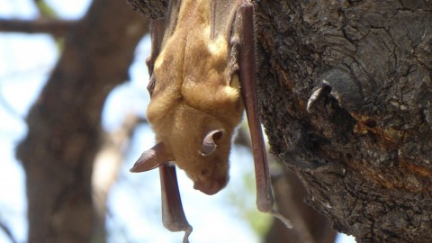 Which species of bat?