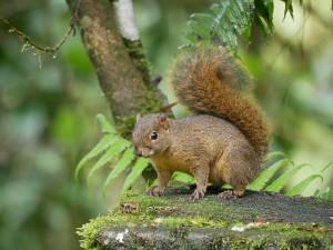 071 Squirrel Chiriqui P1050704