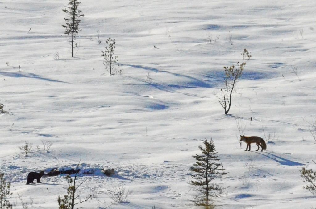 Tips for Winter Carcass Watching in Algonquin Park
