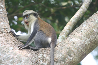 Mona-Monkey