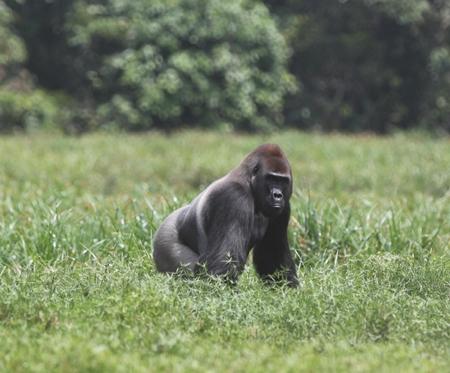 Lowland-Gorilla