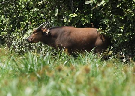 Forest-Buffalo