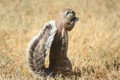 South-African-Ground-Squirrel