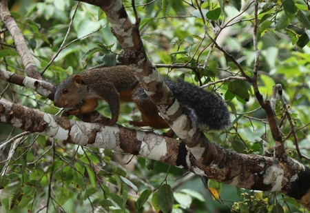 African-Giant-Squirrel