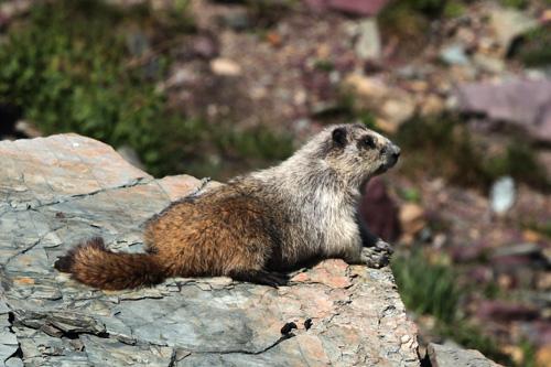Marmota-caligata