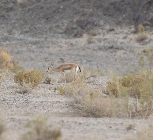 Gazella-subgutturosa