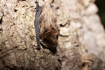 Savis-Pipistrelle