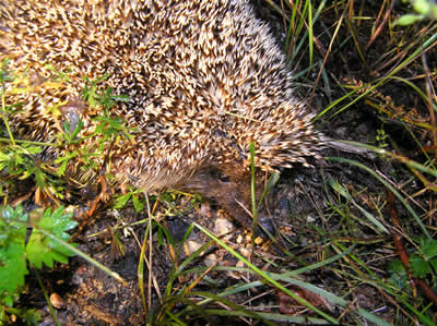 eastern-hedgehog