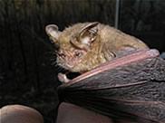 Arnhem-Longeared-Bat