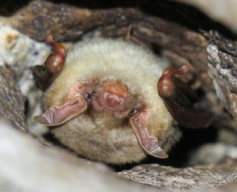 RFI: Bat ID from La Lancha tunnel, Andujar, Spain