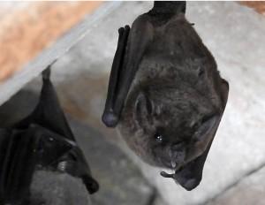Bat Pantanal