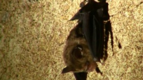 Check for bat ID's Borneo