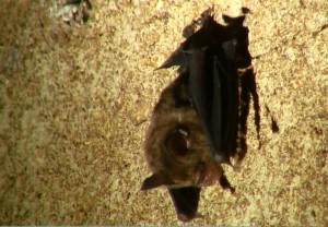 Check for bat ID's Borneo