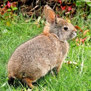 EC-rabbit