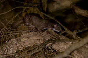 long-tailed-weasel-fixed-2