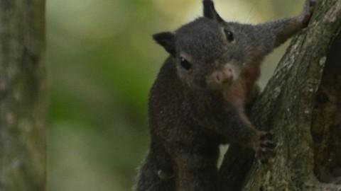 A Sulawesi Dwarf Squirrel Question