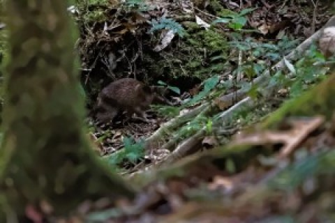 Varirata NP in PNG – Mammal ID required