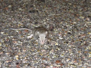 mouse from mojave national preserve (3)