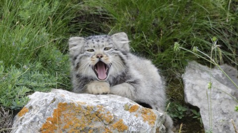 Pallas's Cats near Qinghai Lake, China