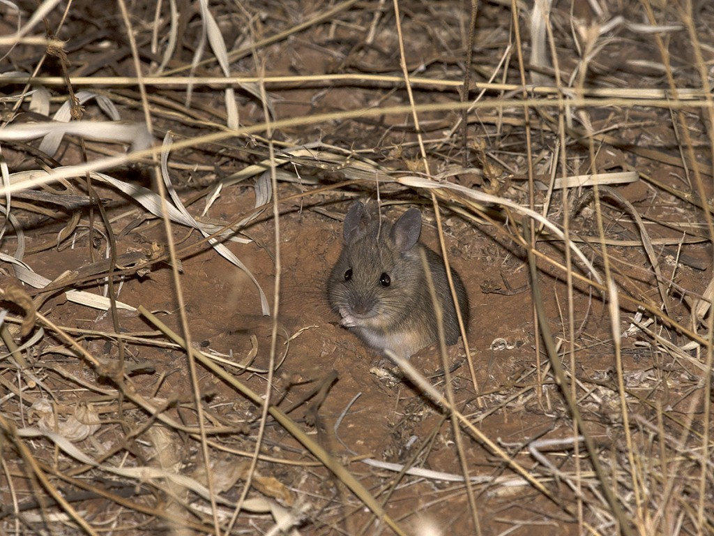 Plains Mouse - Pseudomys australis