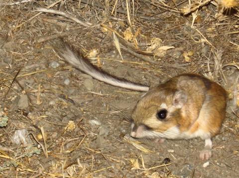 Carrizo Kangaroo Rats
