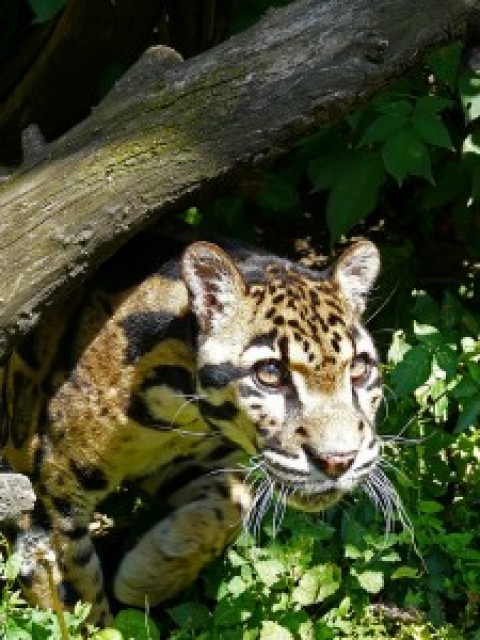 Borneo, clouded leopard quest – join me in Feb 2017?