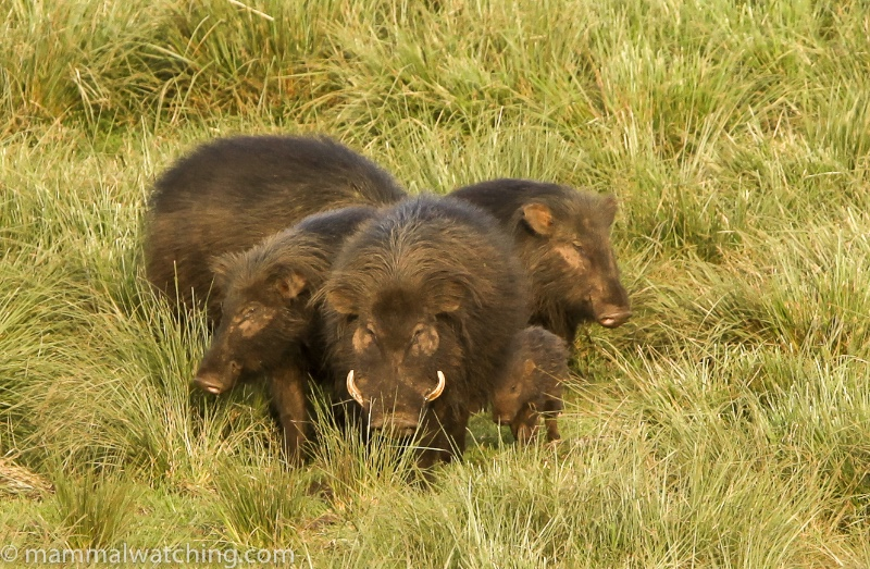 2011-Giant-Forest-Hogs-2