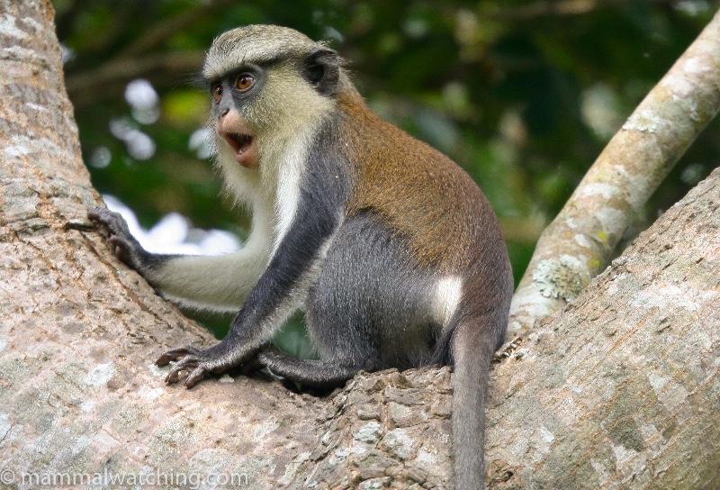 2007-Mona-Monkey