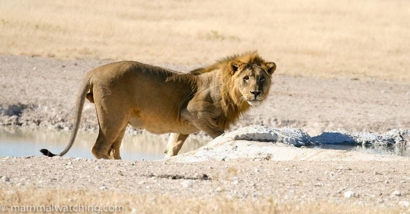 2008-Etosha-Lion