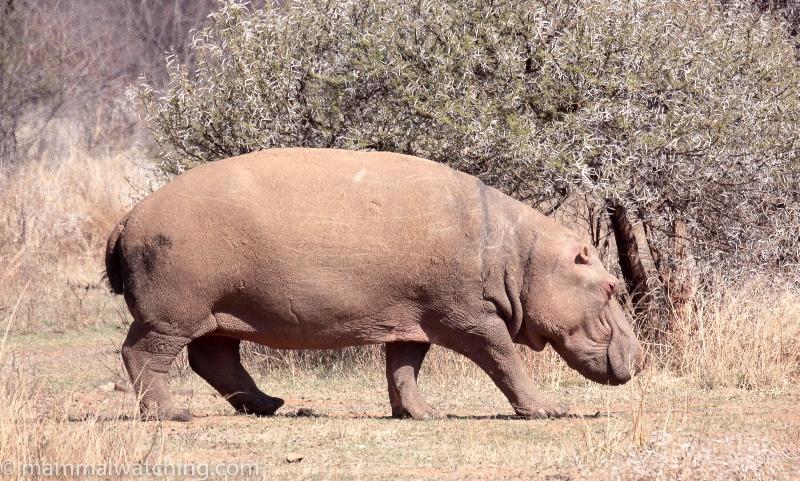 2009-Hippo-Pilanesburg