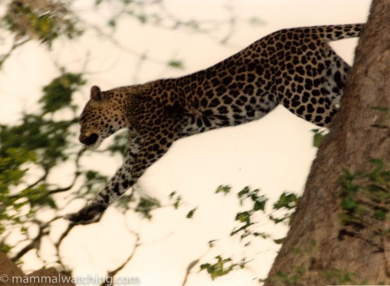 1992-Leopard-Luangwa