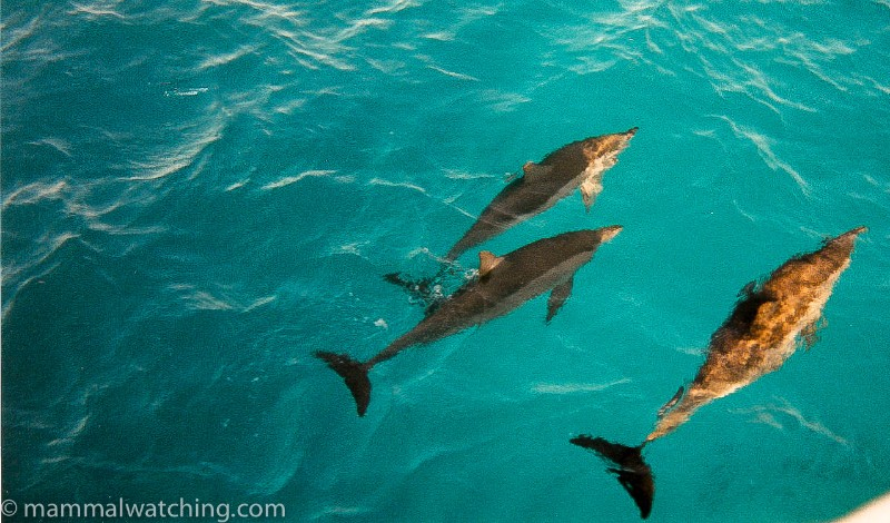 Spinner-Dolphins