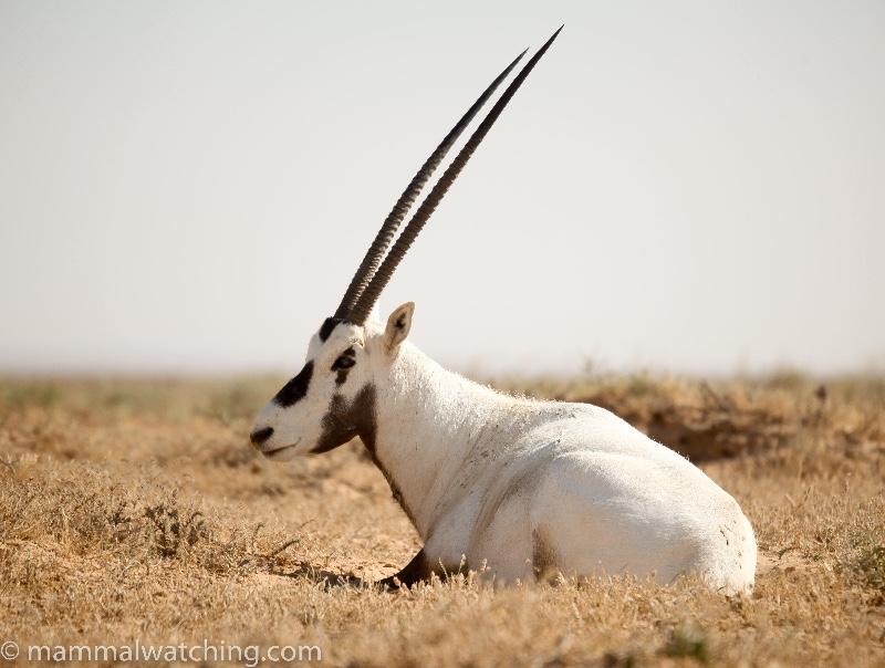 Arabian-Oryx