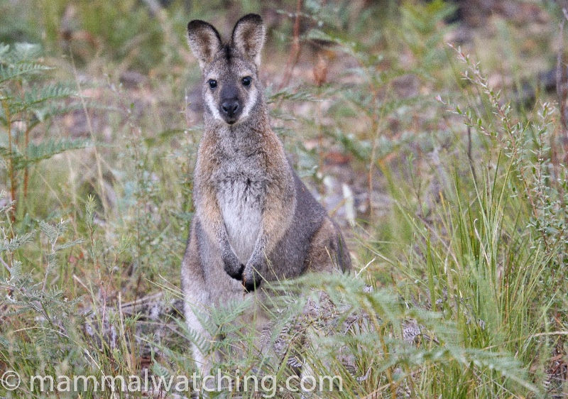 2008-Red-necked-Wallaby