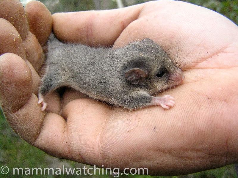 2005-Eastern-Pygmy-Possum