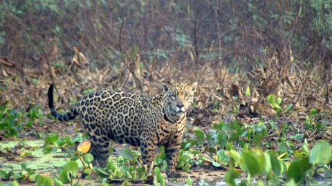 Pantanal Wildlife Holiday Trip Report – Royle Safaris (2)