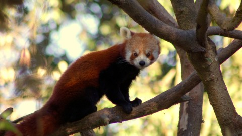 Red Panda Holiday to Nepal Trip Report – Royle Safaris (2)