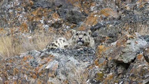 Snow Leopard and Big Cat Safari of India Trip Report – Royle Safaris
