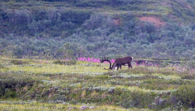 2015-Bull-Caribou-Denali