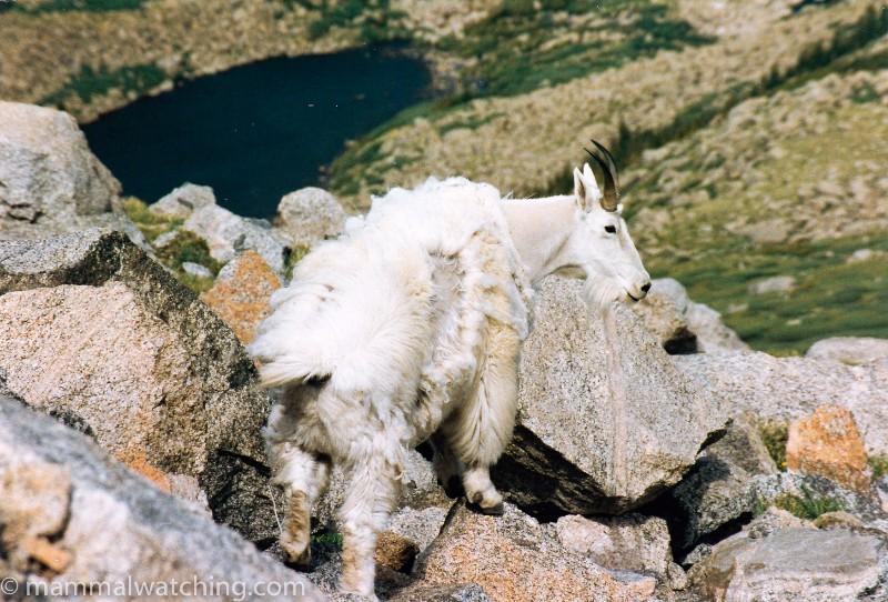 1993-Rocky-Mountain-Goat