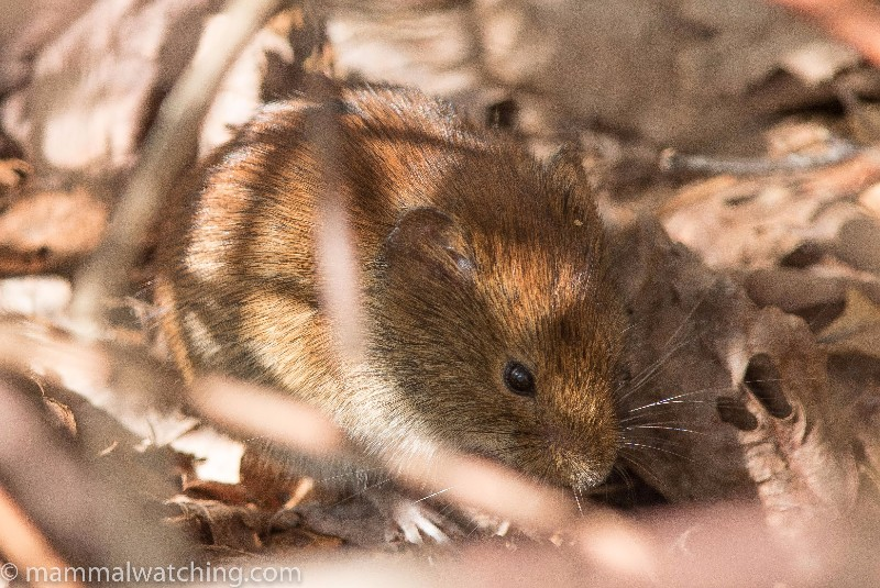 2016-Southern-Red-backed-Vole