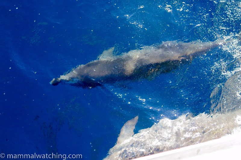 2016-Atlantic-Spotted-Dolphin-2