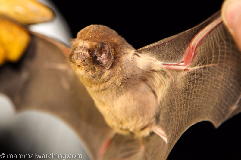 2013-Ghost-faced-Bat-1
