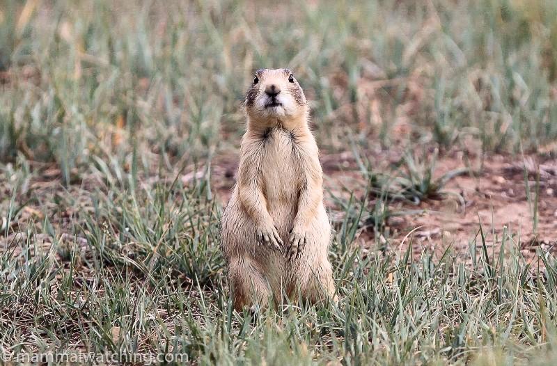2010-Utah-Prairie-Dog