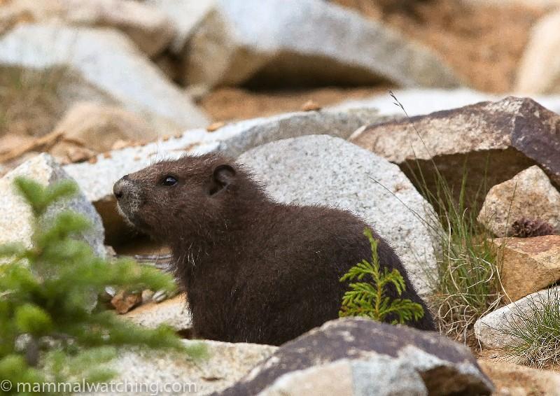2014-Vancouver-Island-Marmot-2