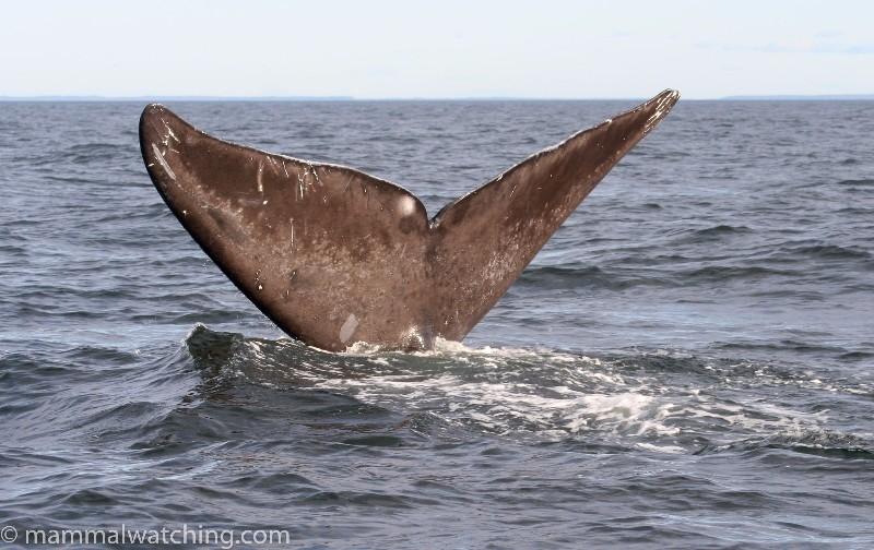 2008-North-Atlantic-Right-Whale-3