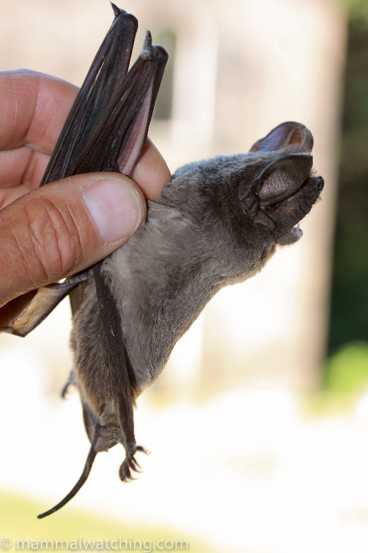 2009-European-Free-talled-Bat